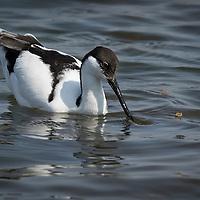 Recurvirostra avosetta, South Africa