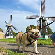 Nederland Streefkerk gemeente Liesveld 13-07-2009 20090713 Foto: David Rozing ..Serie 3 gemeenten Graafstroom, Liesveld en Nieuw-Lekkerland. Meisje laat hond uit op dijk, op de achtergrond 2 kleine molens Girl walking the dog, in the background windmills.Foto: David Rozing