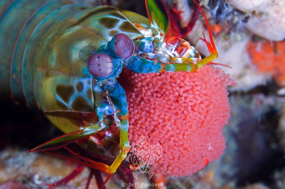 Mantis Mama To Be