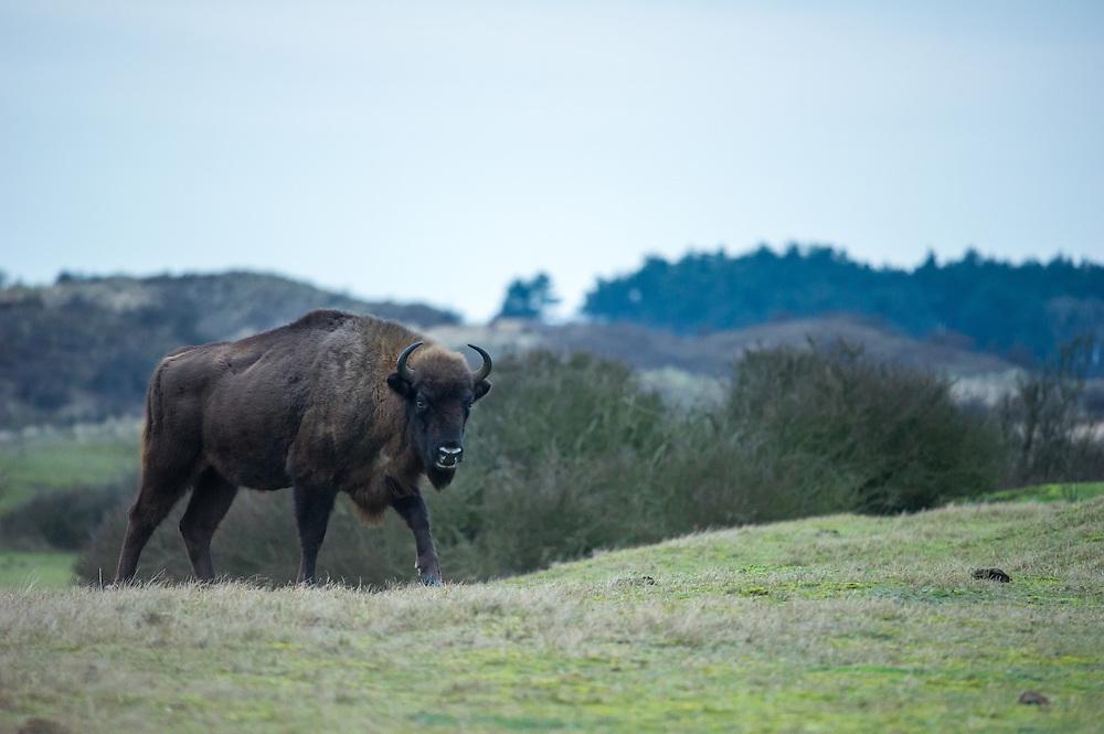 European bison (Bison bonasus) walking in dune area