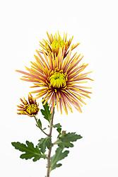 Chrysanthemum 'Tula' (SR caption also said 'Imp') check