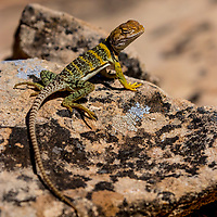 Collared Lizard, Hovenweep National Monument, Utah