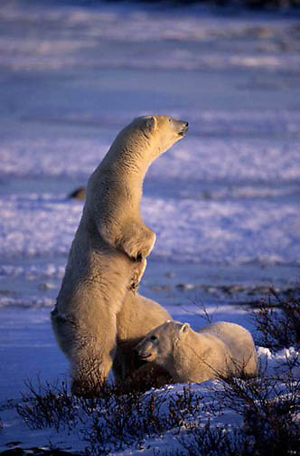 Polar Bear, (Ursus maritimus) Mother and cubs watches for approaching male bear. Churchill, Manitoba. Canada.