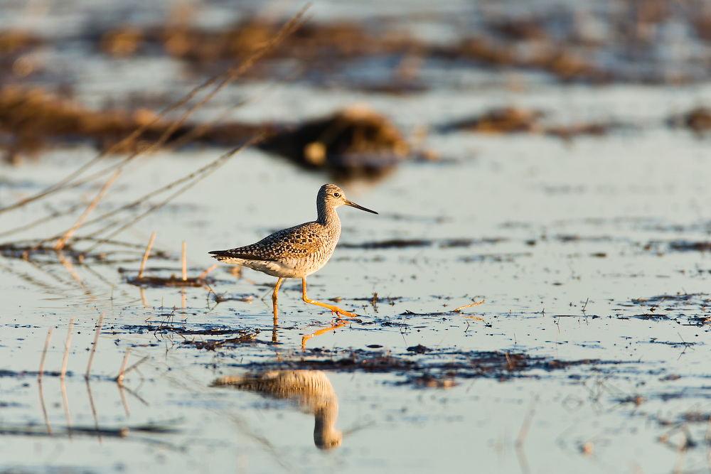 Greater Yellowlegs (Tringa melanoleuca) foraging in a marsh in the Susitna Flats State Game Refuge near Beluga in Southcentral Alaska during the spring migration. Evening.