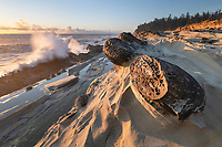 Mineral concretions at Shore Acres State Park Oregon