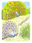 (cartoon showing a Peacock competing with another Peacock using feathers made of banknotes)