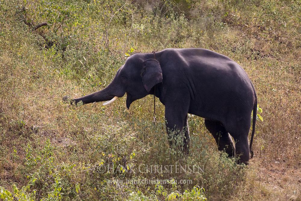 A captive elephant grazes on a hillside, Mudumalai National Park, India.