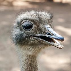 Avestruz (Struthio camelus). Registro feito em 2009. Animal em Cativeiro.<br /> <br /> <br /> <br /> <br /> ENGLISH: Common Ostrich. Picture made in 2009. Captive animal.
