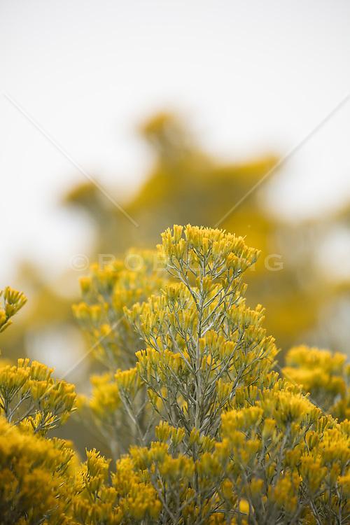 flowering Chamisa found in Santa Fe, NM