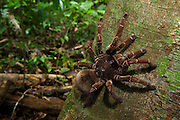 Goliath Bird-eating Tarantula (Theraphosa blondi) LARGEST SPIDER IN THE WORLD<br /> Rainforest<br /> Rewa River<br /> GUYANA. South America<br /> RANGE: Rainforests of South America
