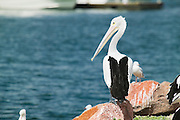 Waiting Pelican, Port Stephens, East Coast Australia