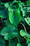 Awa Plant, Hawaii<br />