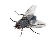 Bluebottle - Calliphora erythrocephala