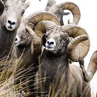 world record rocky mountain bighorn ram, record ram from montana world record bighorn ram