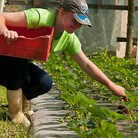 Colheita de morango em estufa, Sitio Canto das Aguas, Rancho Ecofruticola, Rancho Queimado, Santa Catarina, Brasil, foto de Ze Paiva, Vista Imagens.