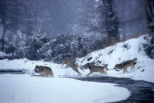 Gray Wolf, (Canis lupus) Pack jumping river. Winter. Rocky mountains. Montana. Winter. Captive Animal.