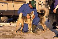 DEU, Germany,  dog sled race in Winterberg, Sauerland, man with Siberian Huskies.....DEU, Deutschland, Schlittenhunderennen in Winterberg, Sauerland, Mann mit Sibirischen Huskies.........