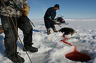 Sasa Samson, age 37, the best Inuit hunter in the Inuit town of Resolute Bay, Canada, pulls a seal from its breathing hole on Tuesday, June 12, 2007. Sasa hunts seals for food, and his community uses every part of the seals, either eating the meat or using the hides to make warm clothes. The Inuit still hunt sometimes with a traditional tool called a gaff. The traditional way of life in the Resolute Bay Inuit community is being threatened by rising temperatures. The dangers of global warming, which have been extensively documented by scientists, are appearing first, with rapid, drastic effects, in the Arctic regions where Inuit people make their home. Inuit communities, such as those living on Resolute Bay, have witnessed a wide variety of changes in their environment. The ice is melting sooner, depleting the seal population and leaving them unable to hunt the animals for as long. Other changes include seeing species of birds and insects (such as cockroaches and mosquitoes) which they have never encountered before. The Inuit actually lack words in their local languages to describe the creatures they have begun to see.