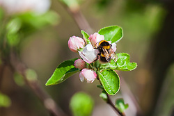 THEMENBILD - eine Hummel (Bombus) saugt Nektar aus einer Apfelbaumblüte, aufgenommen am 23. April 2018, Kaprun, Österreich // a bumblebee sucks nectar from an apple tree blossom on 2018/04/23, kaprun, Austria. EXPA Pictures © 2018, PhotoCredit: EXPA/ Stefanie Oberhauser