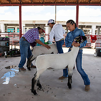 Dylane Carlisle, 12, Friday, August, 31, 2018 at the Bi-County Fair in Prewitt preparing to show her lamb.