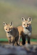 Two red fox kits venture away from their den under a pile of firewood.  Foxes often den in areas of human habitation to keep their kits safe from predators until they're old enough to care for themselves.