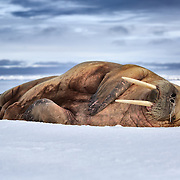 Walrus (Odobenus rosmarus) with a runny nose, sound asleep on ice in Svalbard