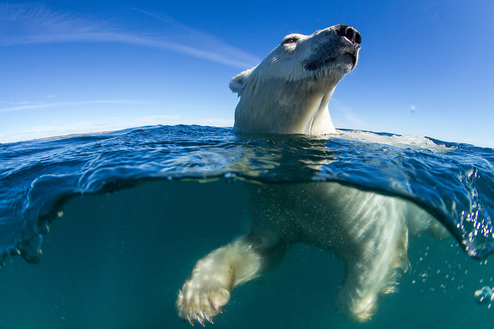 Canada, Nunavut Territory, Underwater view of Polar Bear (Ursus maritimus) swimming in Roes Welcome Sound along Hudson Bay