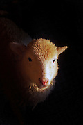 Ram lamb portrait