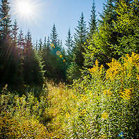 Morning sun shines on a clump of goldenrod in the Northern Forest of NH.  The sunburst on the bright yellow goldenrod was absolutely stunning against a backdrop of the northern forest conifers. A moose trail created an S curve from the trees to the goldenrod. I waited for a while hoping one would wander through this scene. Maybe next time.<br />