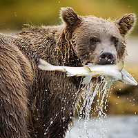 USA, Alaska, Katmai National Park, Geographic Harbor, Brown Bear (Ursus arctos) pulls spawning salmon from stream on autumn afternoon
