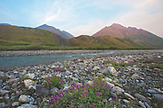 Dwarf Fireweed grows on a gravel bar along the Marsh Fork in the Brooks Range, ANWR, AK