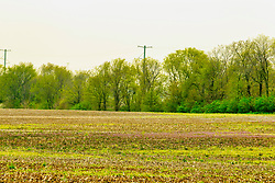 30 Apr 2019: Purple Clover grows in yet to be planted fields in McLean County Illinois