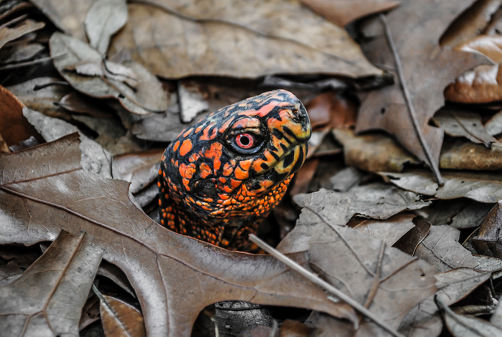 This box turtle image was captured at the Fort Fisher Aquarium south of Wilmington, NC.