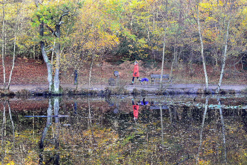 © Licensed to London News Pictures. 13/11/2013. Burnham, UK. A woman walks her dog next to autumn trees reflected in a pool.  Autumn sunshine through the trees at Burnham Beeches, South Buckinghamshire on WEDNESDAY 13TH NOVEMBER. The beeches covering 220 hectares is primarily noted for its ancient beech and oak pollards. Photo credit : Stephen Simpson/LNP