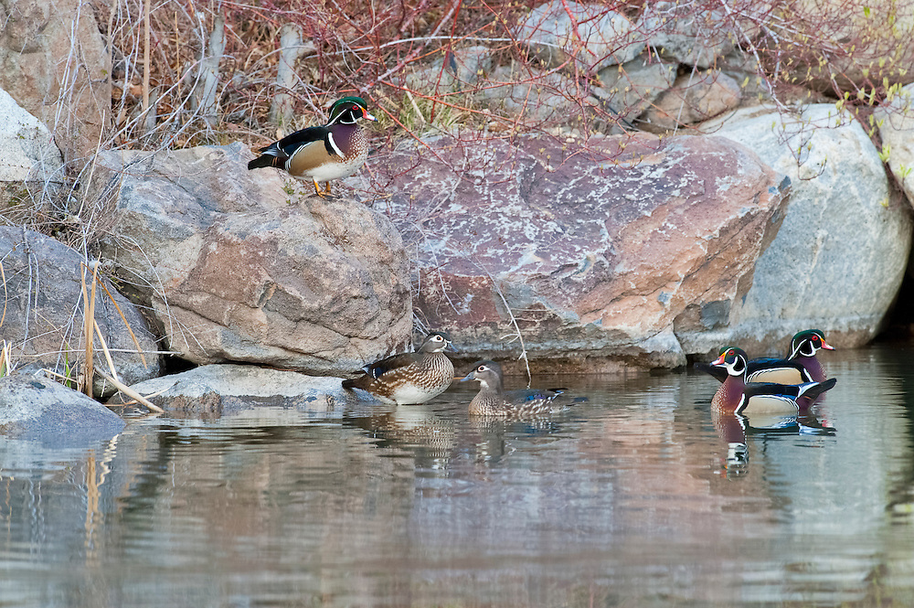 Wood Ducks, Aix sponsa, Washoe County, Nevada