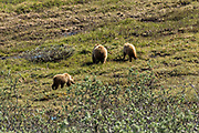 Grizzly bears forage for berries on the tundra in the Tolkat River valley in Denali National Park Alaska. Denali National Park and Preserve encompasses 6 million acres of Alaska's interior wilderness.