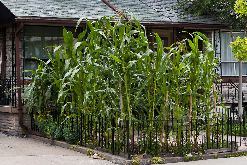 Corn plants growing in an urban front yard.