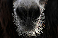 "Poitou Donkey (Baudet de Poitou) (Equus asinus asinus) hairy mouth, heaviest donkey in world, a weigh to 450 kg. Poitou donkey is a giant donkey and an endangered domestic animal. The originating country is France. Typical is the red brown long shaggy coat, called a ""cadanette"". The area around eyes and mouth is silvery white. It's normal the hairs felting. Since Middle Ages poitou donkeys used as breeding and transport animals in agriculture. Cleeberg, Langgoens, Hesse, Germany.This picture is part of the series ""Creature's Coiffure""..Poitou-Esel (La Baudet de Poitou) (Equus asinus asinus).Behaarte Schnauze. Es ist der schwerste Esel der Welt und kann bis zu 450 kg wiegen. Der Poitou-Esel gehört zu den Rieseneseln und ist eine bedrohte Haustierrasse. Sein Ursprungsland ist Frankreich. Charakteristisch ist sein rot-braunes langes Zottelfell. Die Augen- und Maulpartie ist weiss silbrig. Es ist normal, dass die Haare zu dicken Zotteln verfilzen. Poitou-Esel gibt es seit dem frühen Mittelalter und wurden in der Landwirtschaft, als Zucht- und Transporttiere eingesetzt. Cleeberg, Langgoens, Hessen, Deutschland.Dieses Bild ist Teil der Serie ,,Die Frisur der Kreatur"""