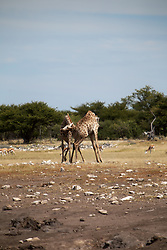 NAMIBIA ETOSHA 30APR14 - Male Angolan giraffes fight out the social hirarchy through 'necking' near Namutoni, Etosha National Park, Namibia.<br /> <br /> <br /> <br /> jre/Photo by Jiri Rezac<br /> <br /> <br /> <br /> © Jiri Rezac 2014