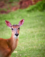 Doe Looking at Me. Image taken with a Fuji X-T2 camera and 100-400 mm OIS Telephoto Zoom lens