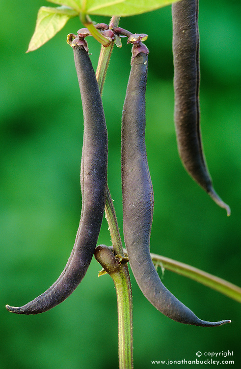 French bean 'Purple Teepee' (dwarf)