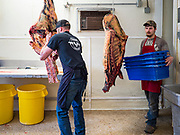30 APRIL 2020 - STANHOPE, IOWA: WES ZANKER, owner of Stanhope Locker and Market, in Stanhope, Iowa, butchers a beef for customer. The family owned meat locker slaughters and butchers beef cattle, pigs, and sheep. The COVID-19 (SARS-CoV-2/Coronavirus) pandemic has spread among employees in the meat packing plants in the Iowa, Nebraska, South Dakota, and Minnesota, forcing many to close or curtail operations. This has resulted in farmers euthanizing thousands of pigs and beef cattle. Pork production has been slashed by about 40% because of the pandemic. Meat lockers and family owned butchering facilities have been swamped with farmers and ranchers trying to sell their livestock to them rather than the meat packing plants, but the meat lockers are backed up by the huge increase in supply. Many meat lockers are now full through the end of the year. Stanhope Locker and Market doesn't have any openings for slaughtering and butchering either cattle or pigs until mid-December 2020.         PHOTO BY JACK KURTZ