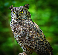 Great Horned Owls (Bubo virginianus) native to North America and in Central and South America.