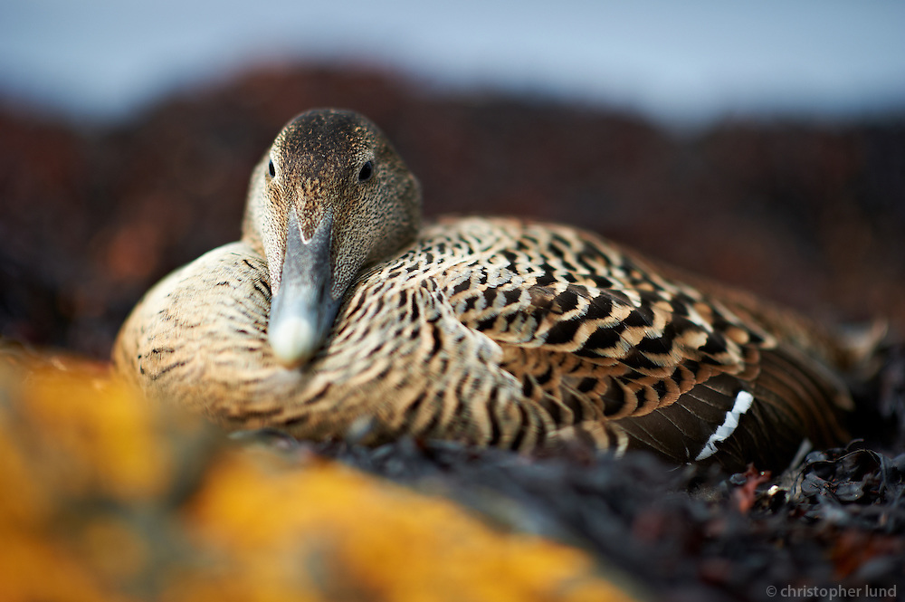 A scene from island Flatey, Iceland. An Eider Duck lying on eggs. The Common Eider, Somateria mollissima, is a large (50-71 cm body length) sea-duck that is distributed over the northern coasts of Europe, North America and eastern Siberia. It breeds in Arctic and some northern temperate regions, but winters somewhat farther south in temperate zones, when it can form large flocks on coastal waters. Flatey is the largest island of the western island, a cluster of about forty large and small islands and islets located in Breiðafjörður on the northwestern part of Iceland.