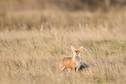 Red Fox (Vulpes vulpes), Montana