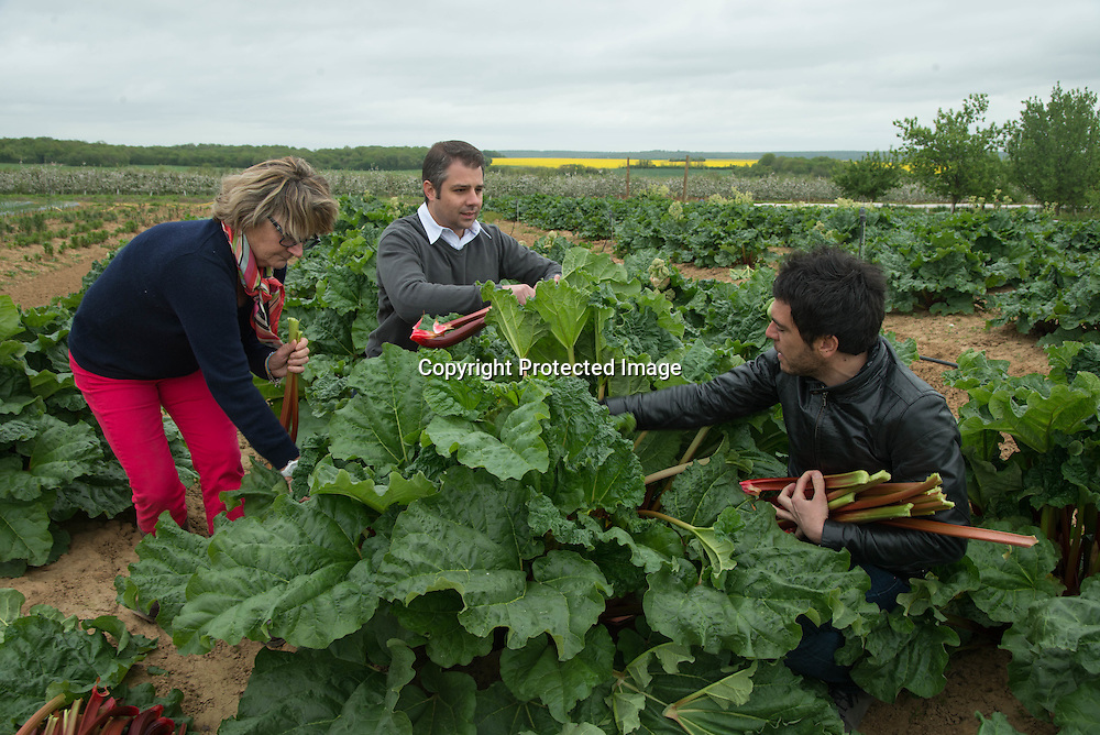 France Jumeauville. la ferme du logis . Mme Cochin the owner.  Hugues pouget and Sylvain Blanc ( Victor and Hugo Cie) harvest some rhubarb