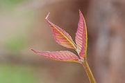 Poison Ivy; Toxicodendron radicans; PA, Philadelphia, Schuylkill Center