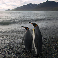King penguin colony,St Andrews,South Georgia,