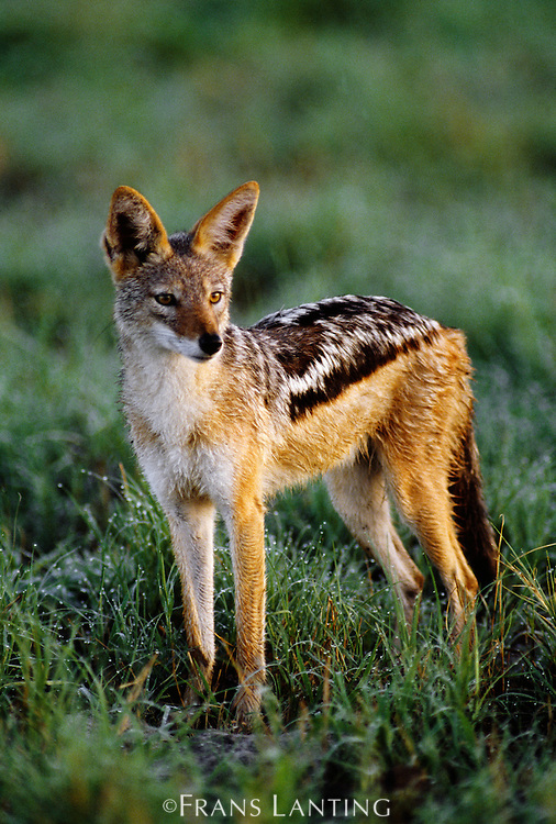 Black-backed jackal, Canis mesomelas, Chobe National Park, Botswana