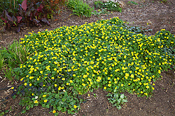 Ranunculus ficaria Flore Pleno growing at Cotswold Garden Flowers. Lesser Celandine